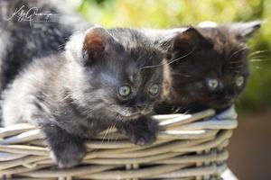 Kitten pers