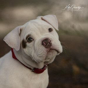 Bull pup