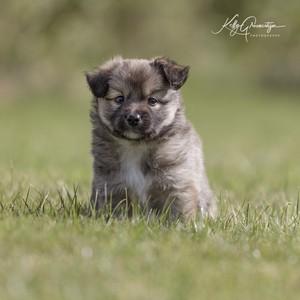 IJslandse pup