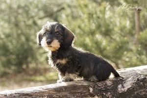 Teckel pup